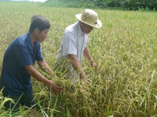Philippine rice program on track – DA officials